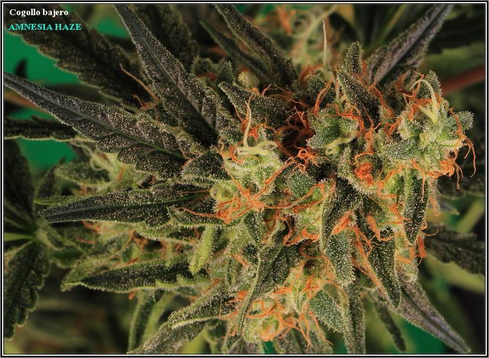planta de marihuana Amnesia Haze Hidra 6