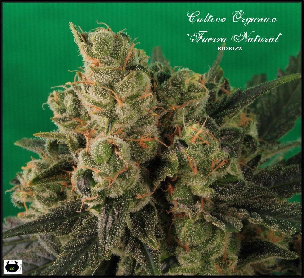 cultivo orgánico Variedad de marihuana cheese sensi seeds 7