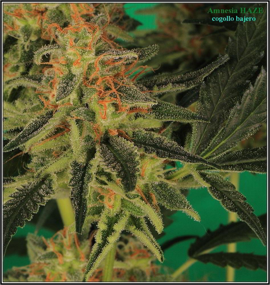 planta de marihuana Amnesia Haze Hidra 7