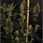 Tutorado vertical (SCROG vertical) – Técnica para cultivos de marihuana