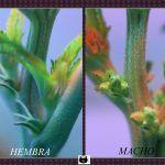 Platanito – Flor macho en plantas de marihuana –  ¡Peligro! ¿Por qué salen?