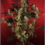 13- Variedad de marihuana Amnesia Haze con 6 semanas a 12/12