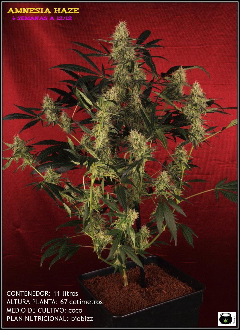 13- Variedad de marihuana Amnesia haze con 6 semanas a 12/12 1