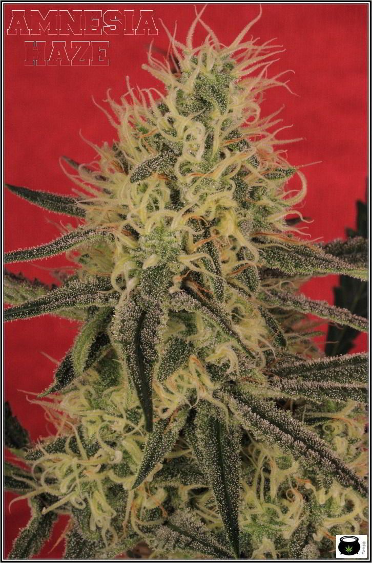 13- Variedad de marihuana Amnesia haze con 6 semanas a 12/12 3