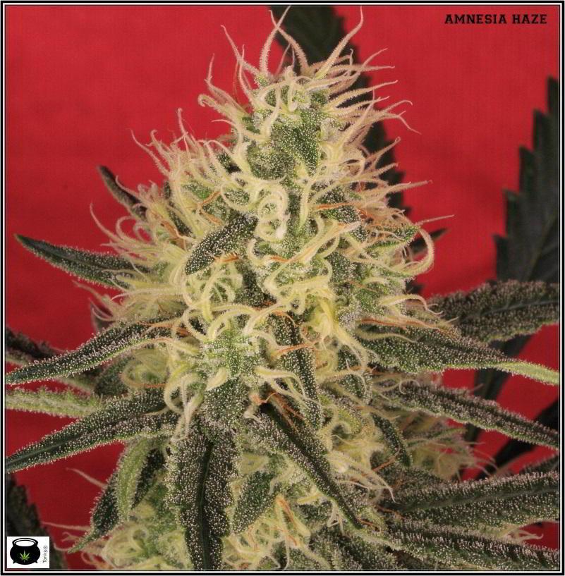 13- Variedad de marihuana Amnesia haze con 6 semanas a 12/12 4