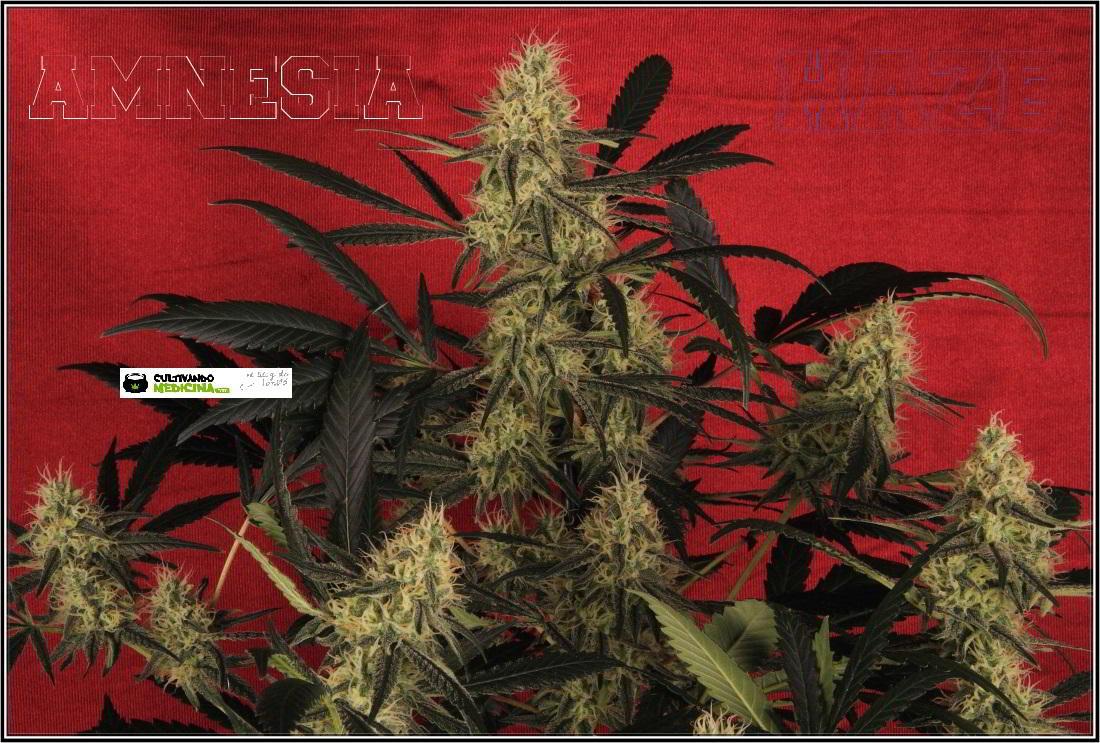 13- Variedad de marihuana Amnesia haze con 6 semanas a 12/12 5