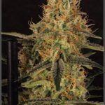 17- Variedad de marihuana Amnesia Haze, 7 semanas a 12/12
