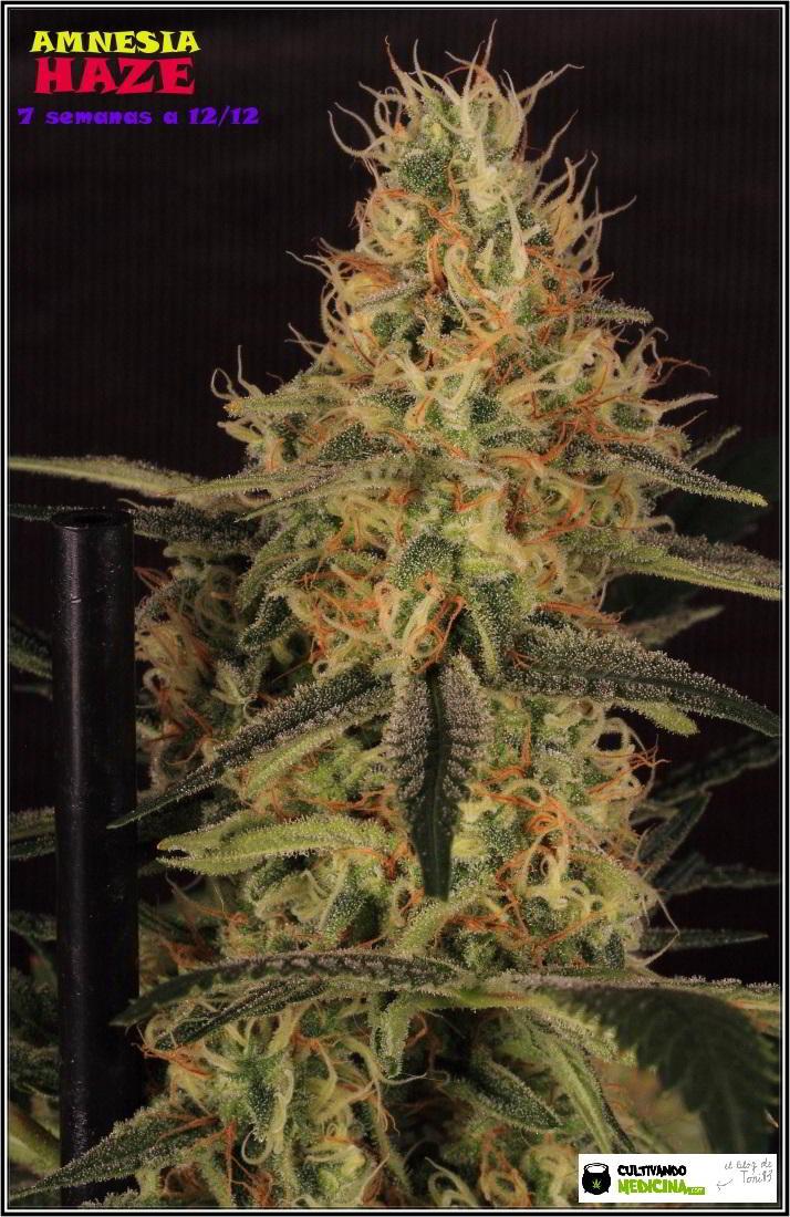 17- Variedad de marihuana Amnesia Haze, 7 semanas a 12/12 1