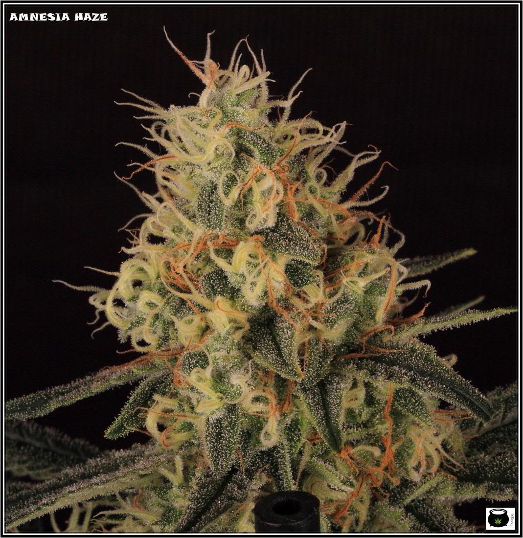17- Variedad de marihuana Amnesia Haze, 7 semanas a 12/12 2