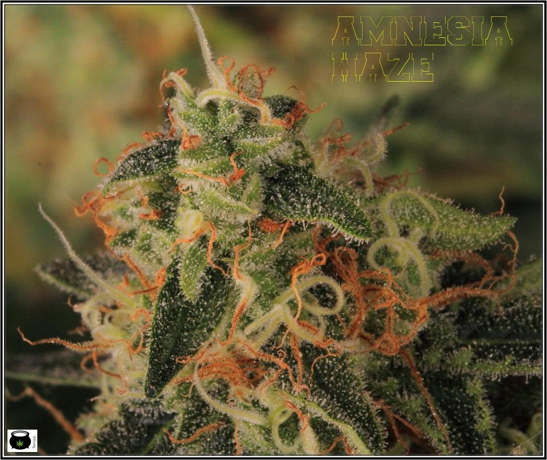 17- Variedad de marihuana Amnesia Haze, 7 semanas a 12/12 4