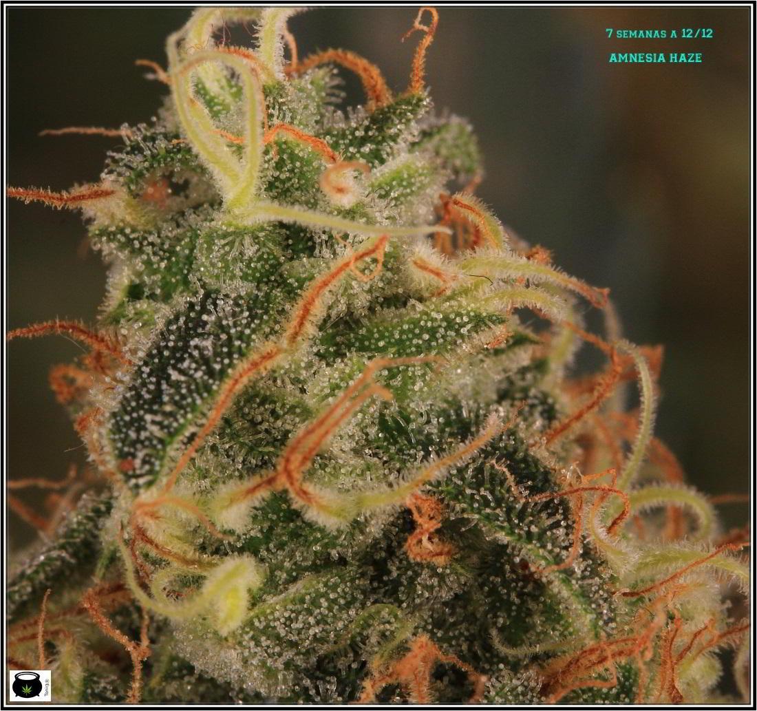 17- Variedad de marihuana Amnesia Haze, 7 semanas a 12/12 5