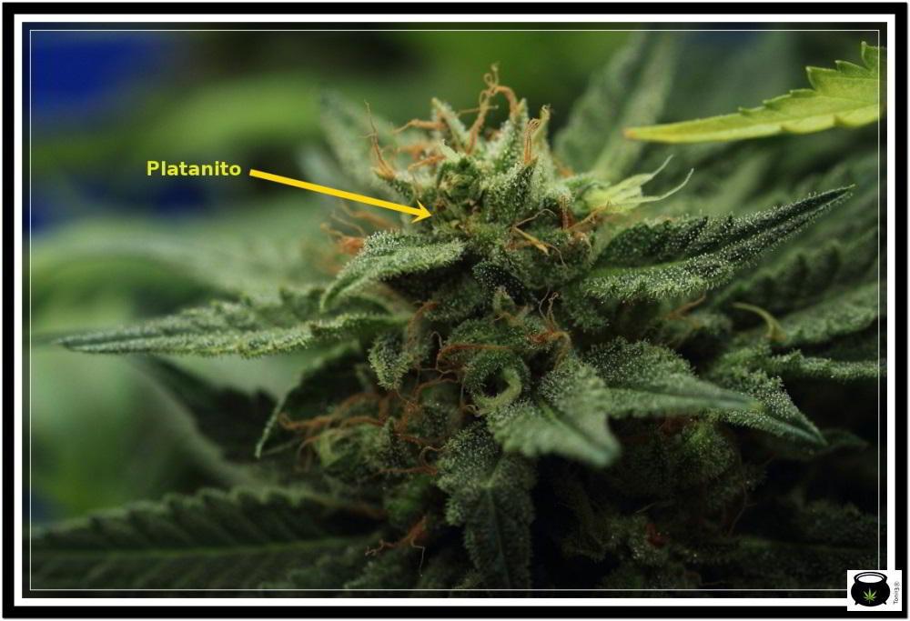 Platanito en cogollo de planta de marihuana en floración