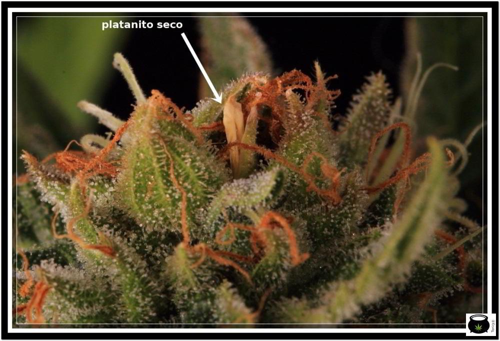 Platanito seco en planta de marihuana