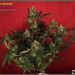 19- Colorin, colorado, la variedad de marihuana Cheese he cortado