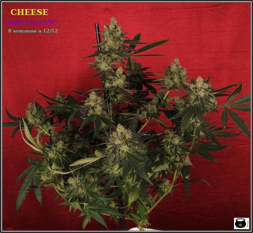 19- Colorin, colorado, la variedad de marihuana Cheese he cortado 1