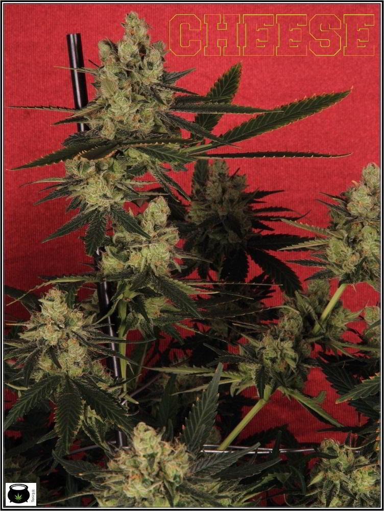 19- Colorin, colorado, la variedad de marihuana Cheese he cortado 2