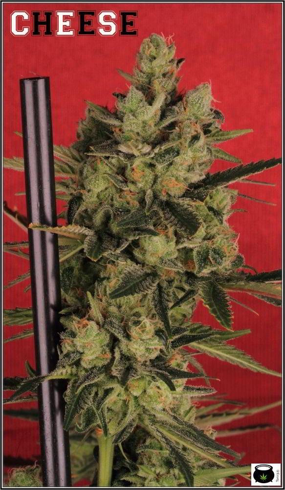 19- Colorin, colorado, la variedad de marihuana Cheese he cortado 3