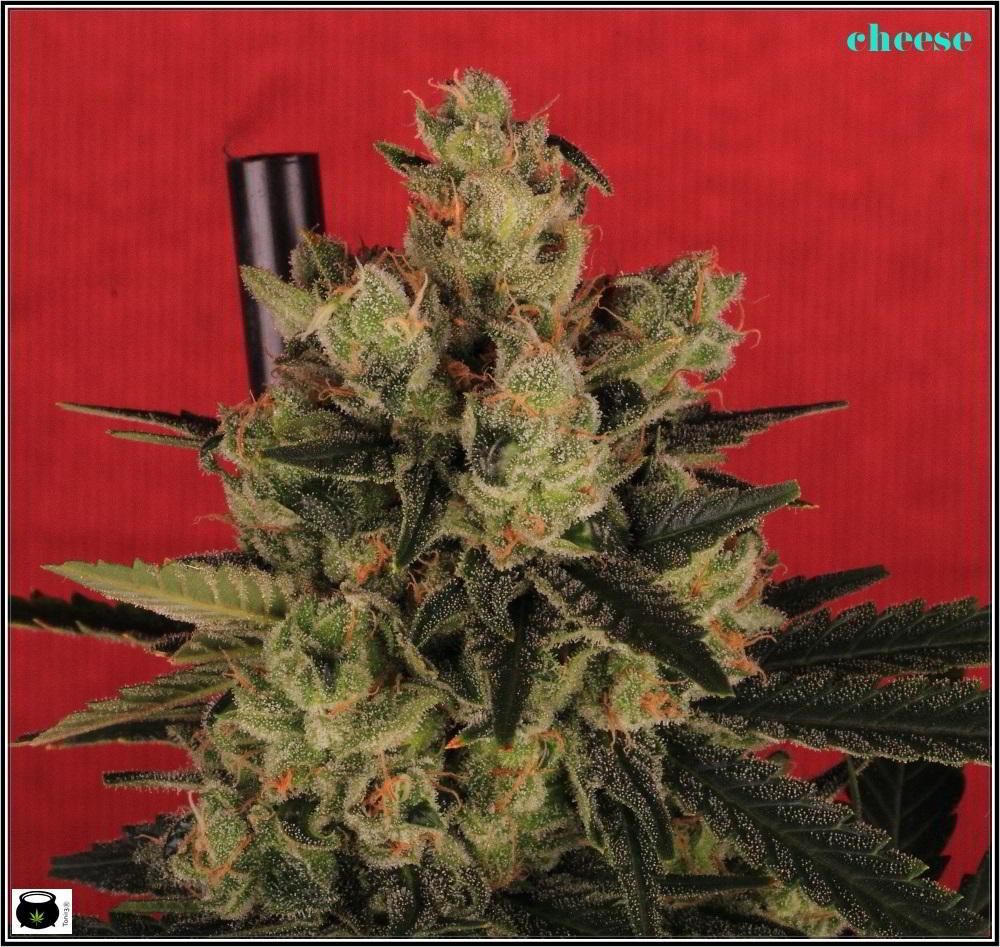 19- Colorin, colorado, la variedad de marihuana Cheese he cortado 4