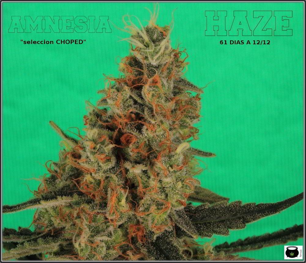 22- Variedad de marihuana Amnesia Haze la cordobesa cortada 3