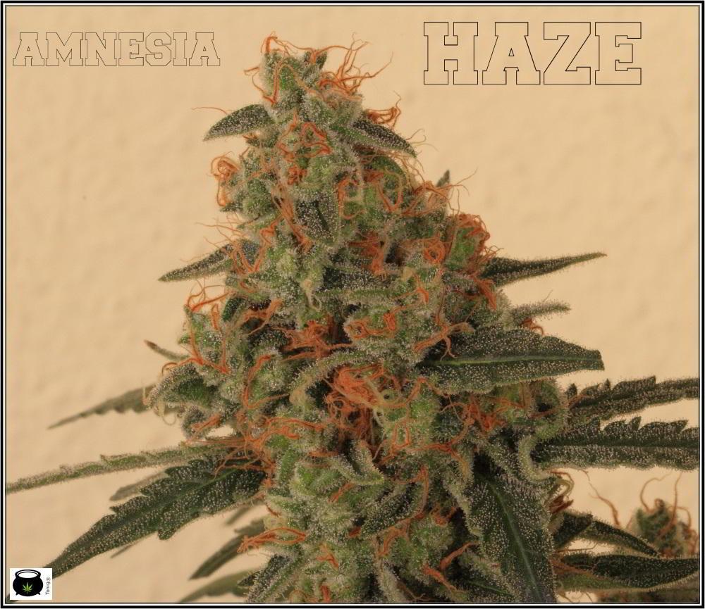 22- Variedad de marihuana Amnesia Haze la cordobesa cortada 4