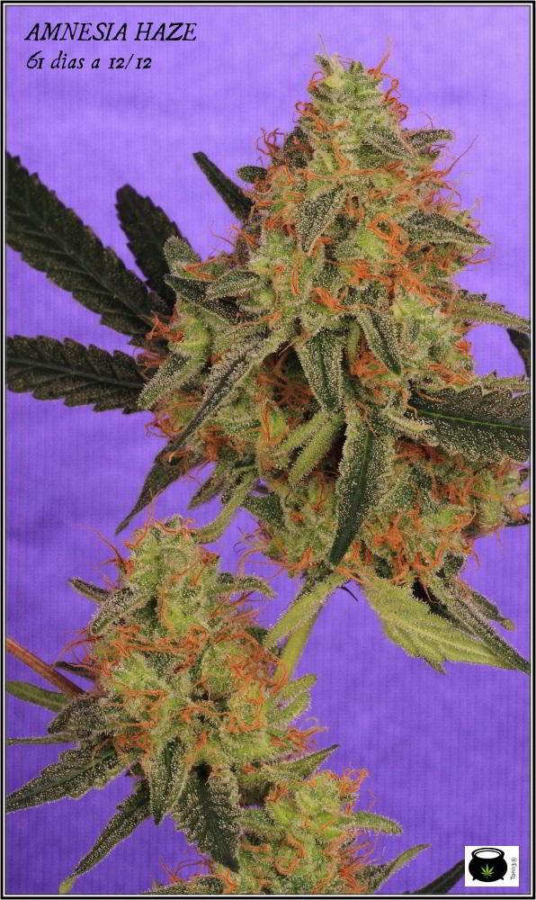 22- Variedad de marihuana Amnesia Haze la cordobesa cortada 5