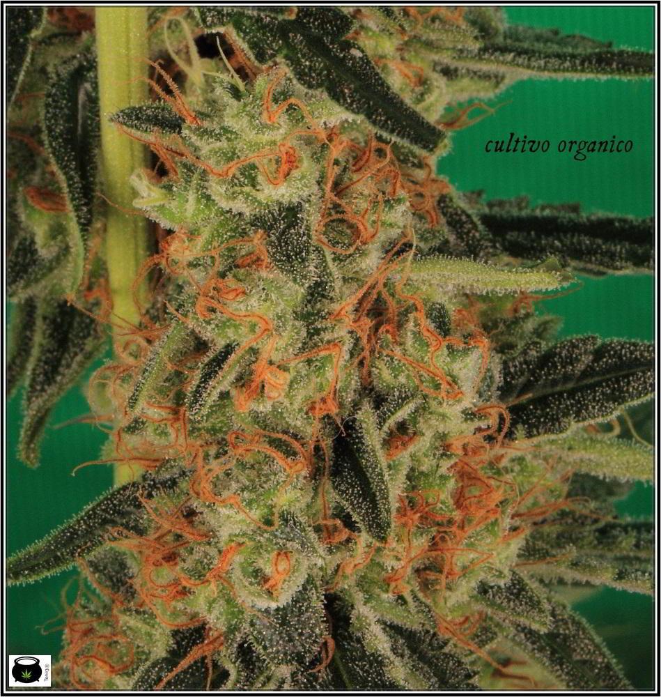 22- Variedad de marihuana Amnesia Haze la cordobesa cortada 6