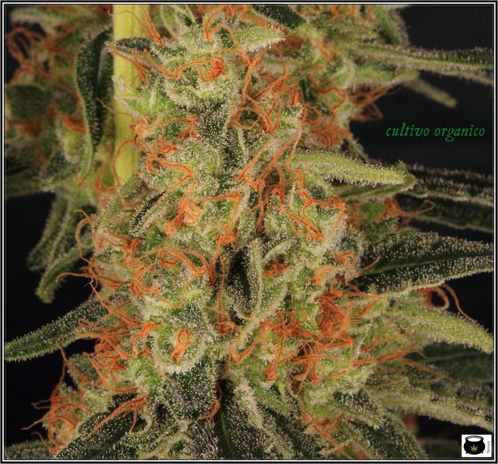 22- Variedad de marihuana Amnesia Haze la cordobesa cortada 7