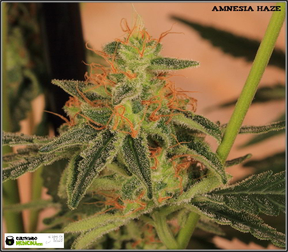 22- Variedad de marihuana Amnesia Haze la cordobesa cortada 8