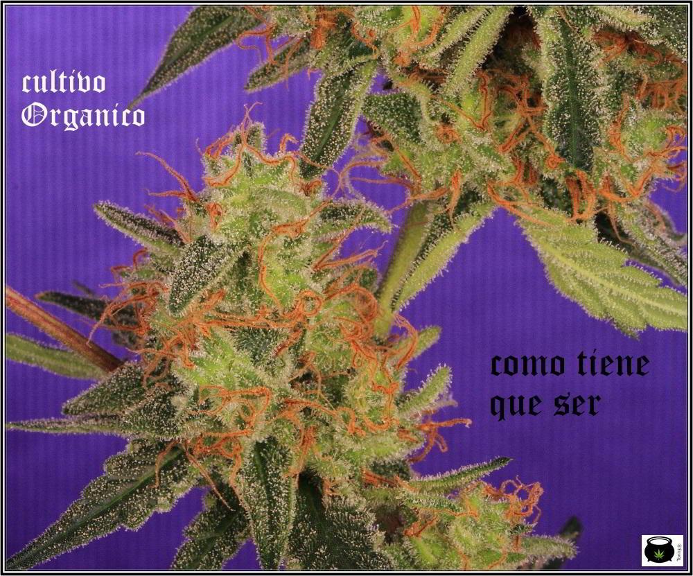 22- Variedad de marihuana Amnesia Haze la cordobesa cortada 9