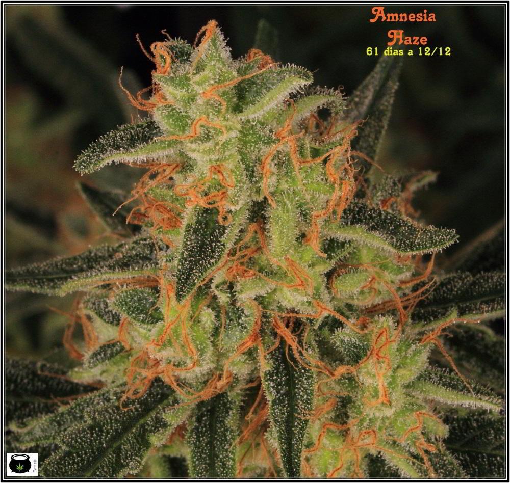 22- Variedad de marihuana Amnesia Haze la cordobesa cortada 10