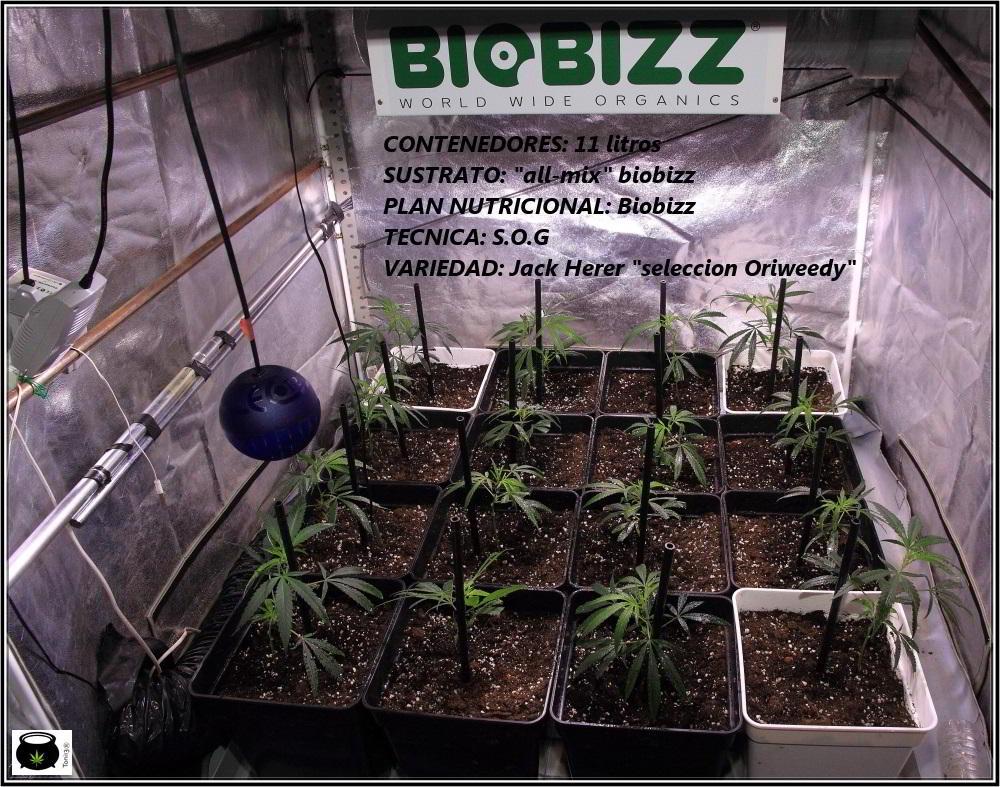 1- En busca del SOG perfecto en el cultivo de marihuana: 1º intento 2
