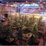 10- Actualización del cultivo de marihuana: 4 semanas a 12/12