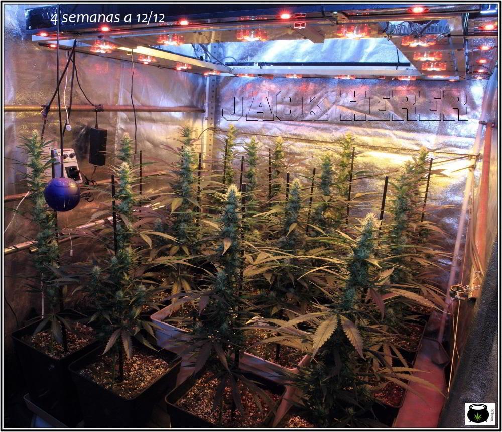10- Actualización del cultivo de marihuana: 4 semanas a 12/12 1