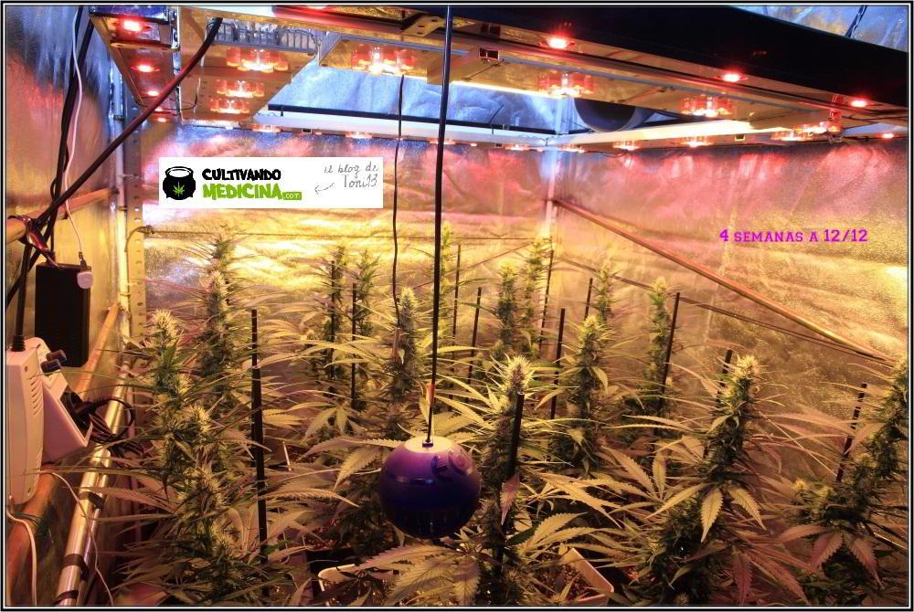 10- Actualización del cultivo de marihuana: 4 semanas a 12/12 2