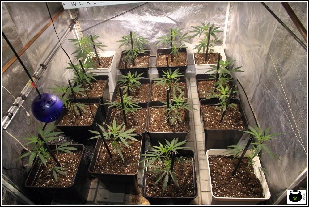 Moldeo lumínico en cultivos de marihuana de interior 3