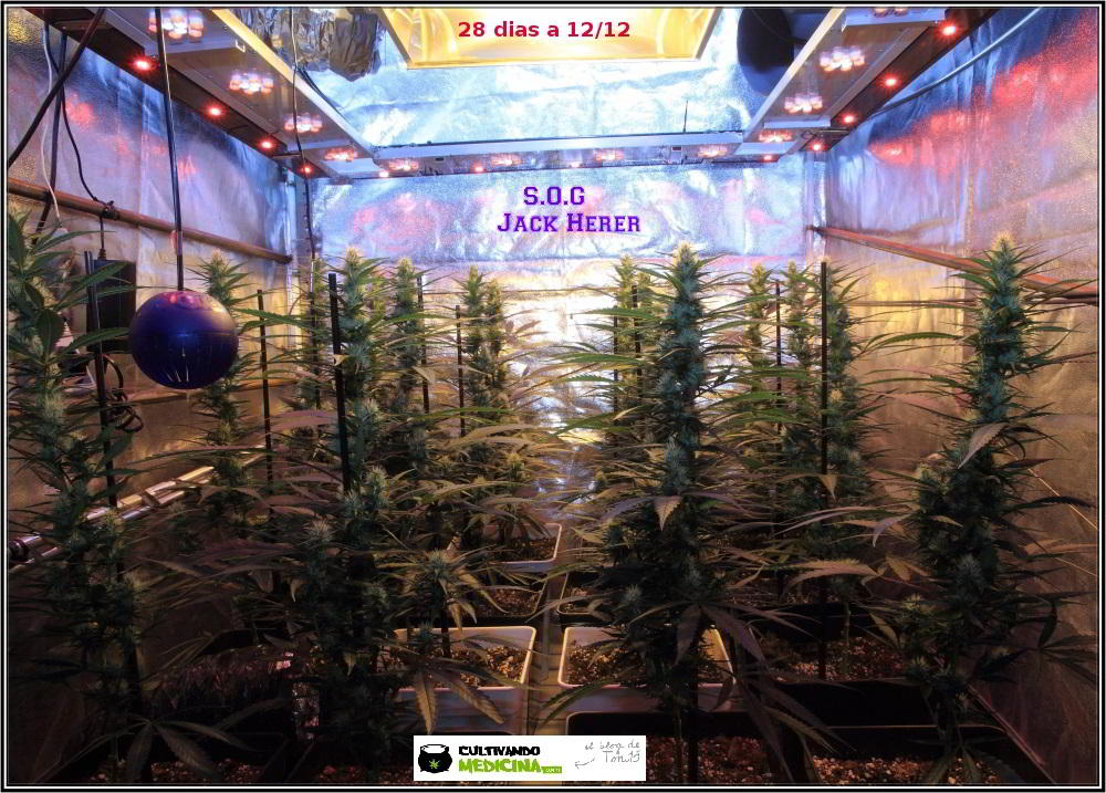 10- Actualización del cultivo de marihuana: 4 semanas a 12/12 3