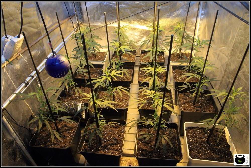 Moldeo lumínico en cultivos de marihuana de interior 4