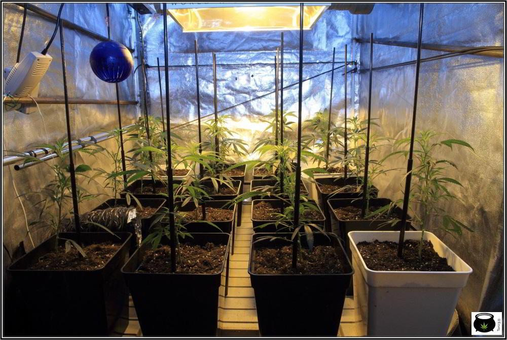 bandeja de cultivo en armario de interior de marihuana
