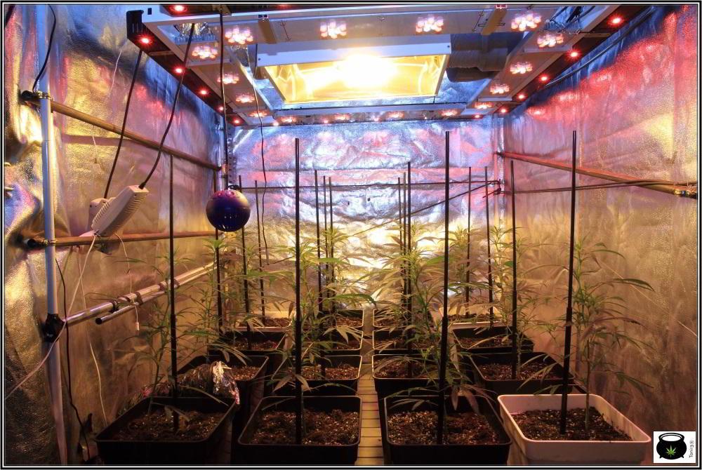 Moldeo lumínico en cultivos de marihuana de interior 6