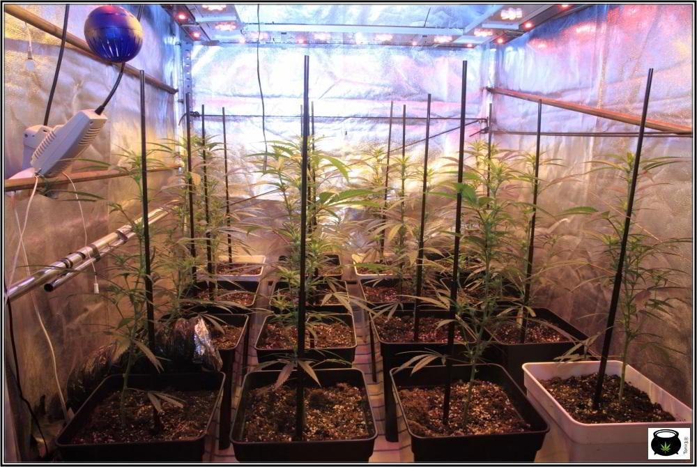 Moldeo lumínico en cultivos de marihuana de interior 7