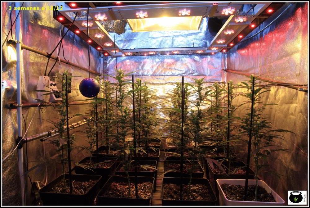 Moldeo lumínico en cultivos de marihuana de interior 8