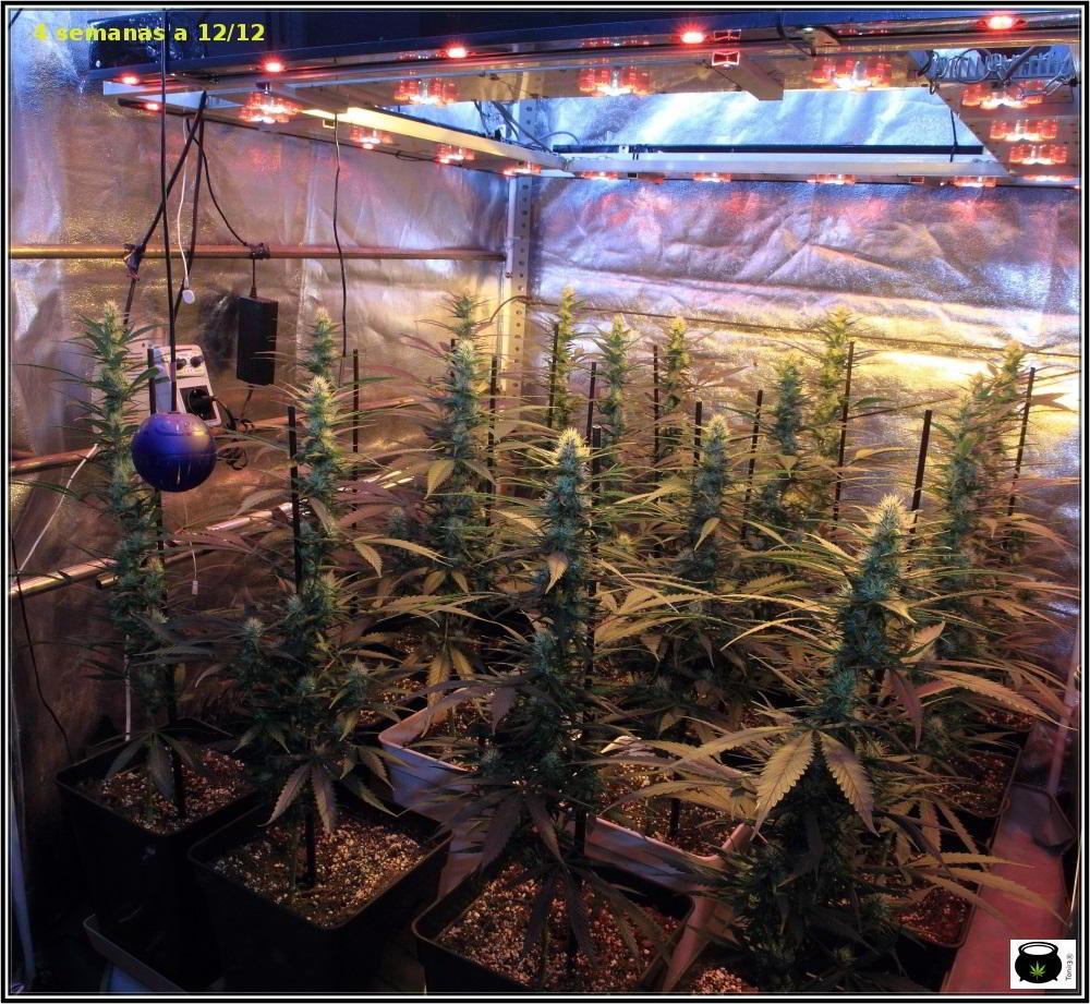 Moldeo lumínico en cultivos de marihuana de interior 9