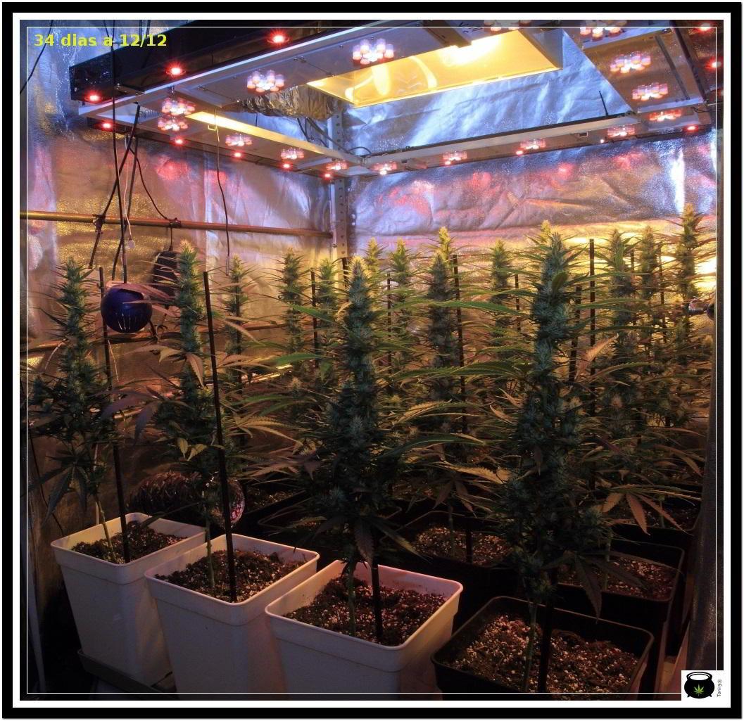 Moldeo lumínico en cultivos de marihuana de interior 10