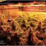 EVO-LED (V-3 y V-4) LEDS para el cultivo de marihuana