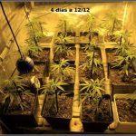 3- 4 días a 12/12, continuo con el moldeo lumínico en el cultivo de marihuana