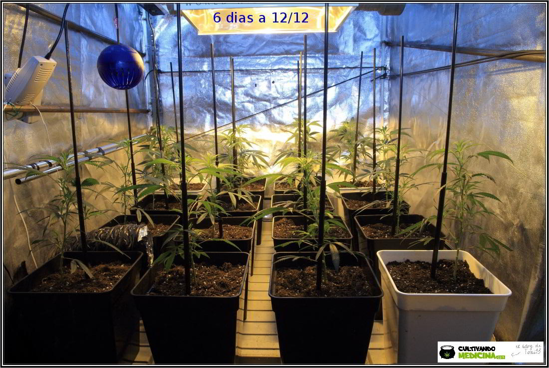 4- Actualización del cultivo: 6 días a 12/12, parece que esto chuta 2