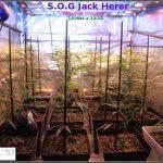 7- 2 semanas a 12/12 y el cultivo de marihuana ya va cogiendo forma