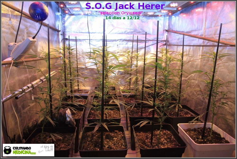 7- 2 semanas a 12/12 y el cultivo de marihuana ya va cogiendo forma 1