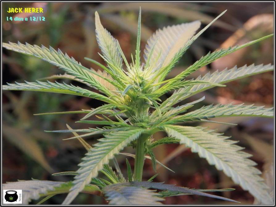 7- 2 semanas a 12/12 y el cultivo de marihuana ya va cogiendo forma 2