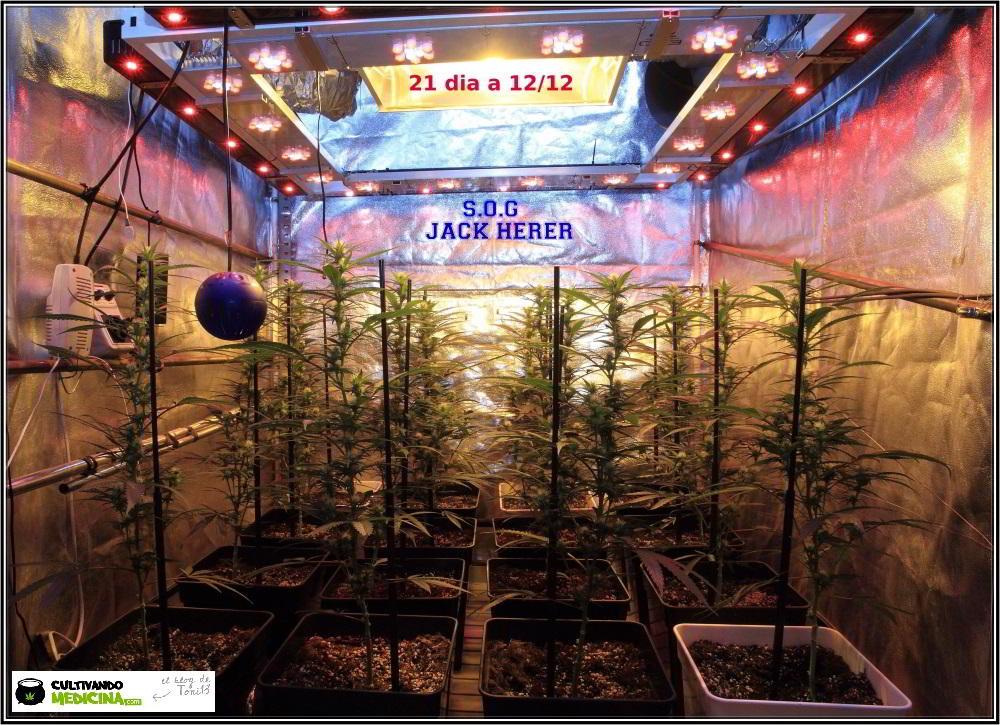 9- Actualización del cultivo de marihuana: 3 semanas a 12/12 SOG vertical 1